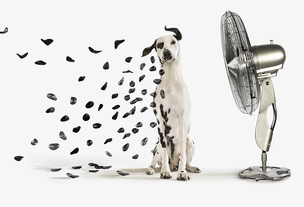 Fan Blowing spots off Dalmatian dog